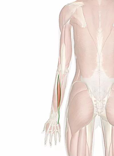 muscolo estensore ulnare del carpo