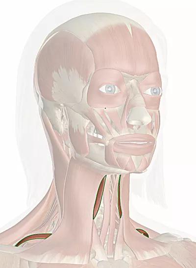 muscolo omoioideo