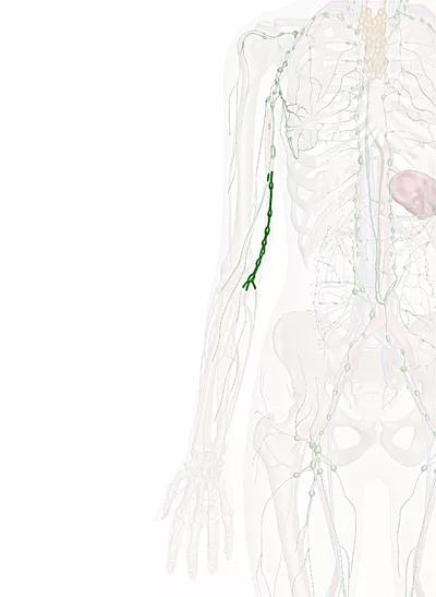 linfonodi cubitali