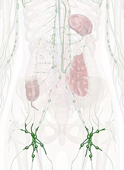 linfonodi inguinali