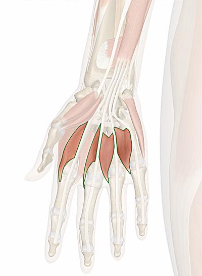 muscoli lombricali della mano