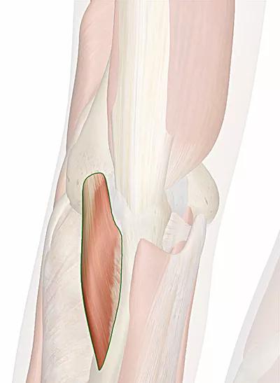 muscolo anconeo