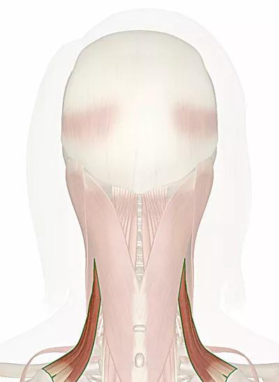 muscolo elevatore della scapola