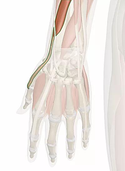 muscolo estensore breve del pollice