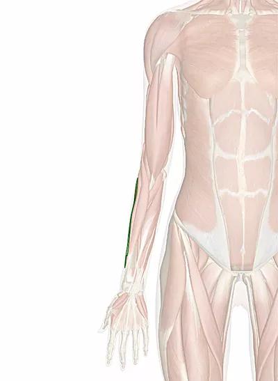 muscolo estensore radiale breve del carpo