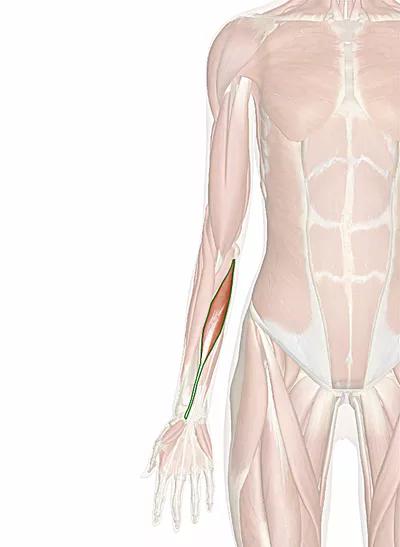 muscolo flessore radiale del carpo