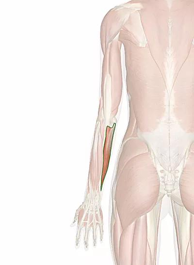muscolo flessore ulnare del carpo