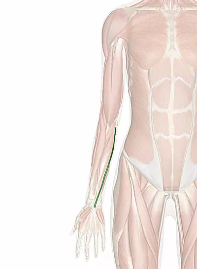 muscolo palmare lungo