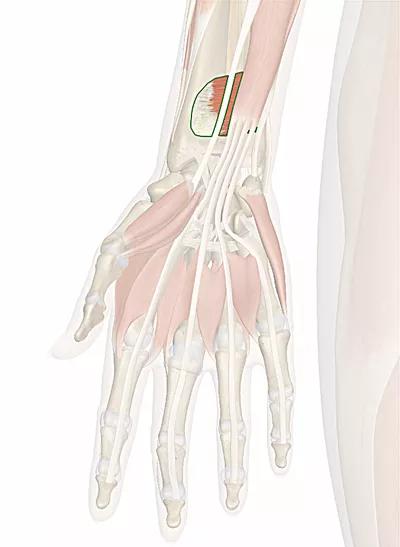 muscolo pronatore quadrato