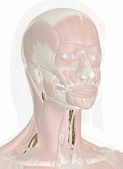 muscoli scaleni