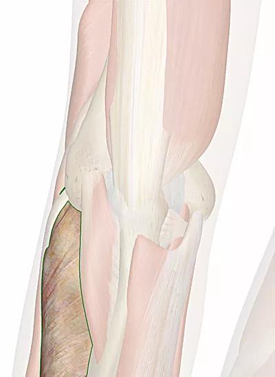 muscolo supinatore