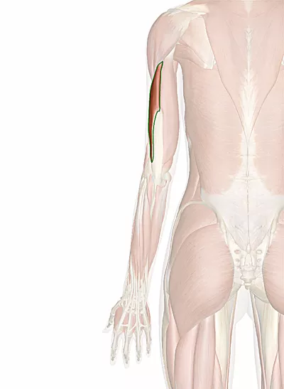 muscolo tricipite brachiale capo laterale
