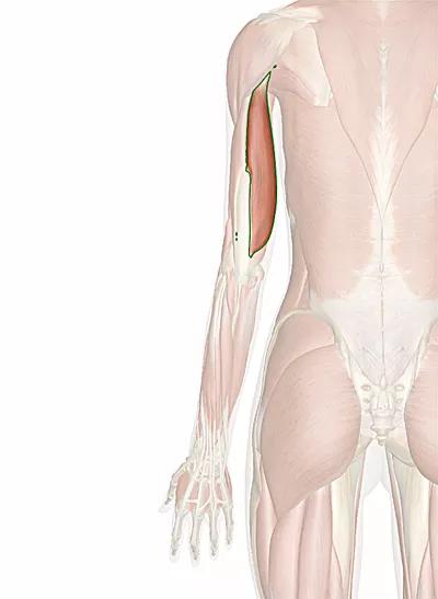 muscolo tricipite brachiale capo lungo