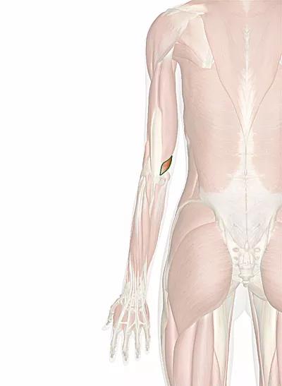 muscolo tricipite brachiale capo mediale