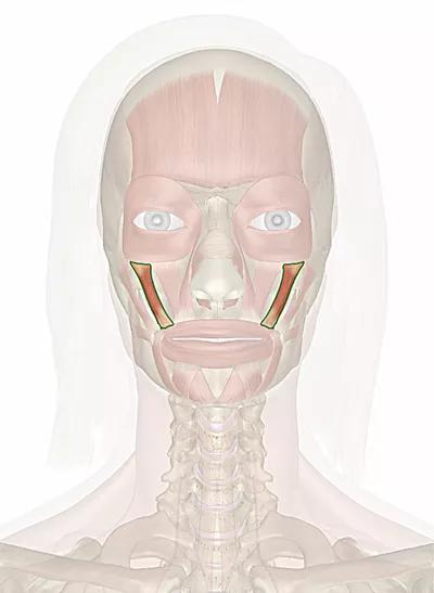 muscolo zigomatico minore