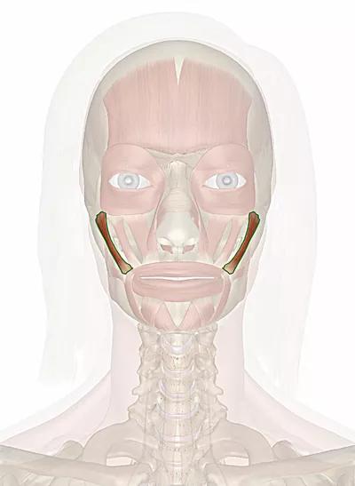 muscolo zigomatico maggiore
