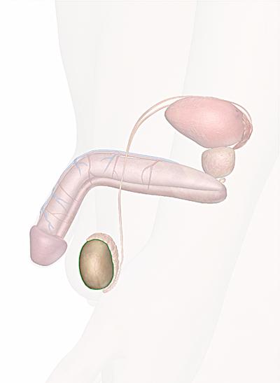 testicoli