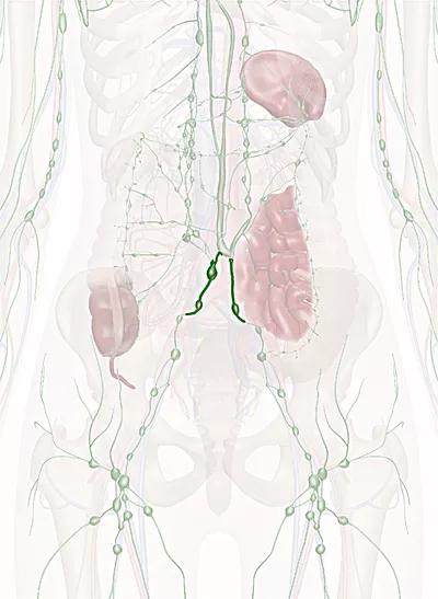 tronco linfatico lombare