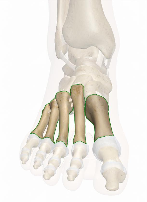 ossa del metatarso
