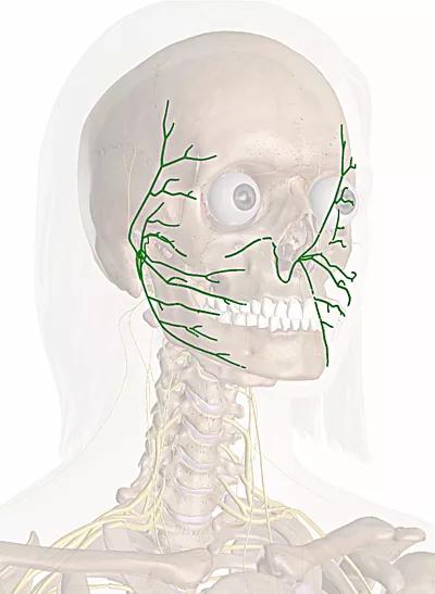 nervo facciale