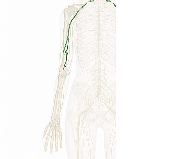 nervo muscolocutaneo