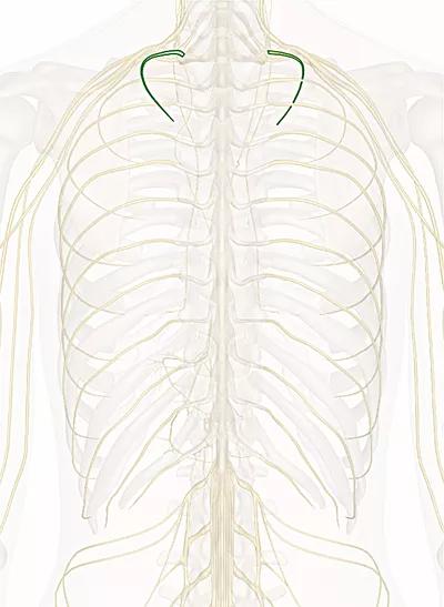 primo nervo toracico
