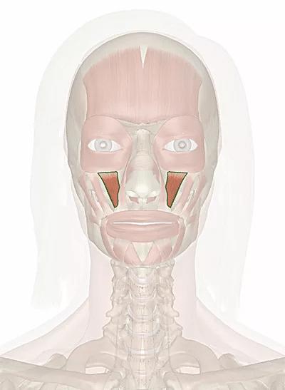 muscolo elevatore del labbro superiore