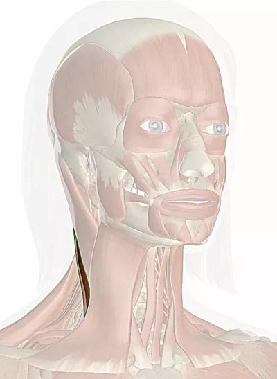 sternocleidomastoideo