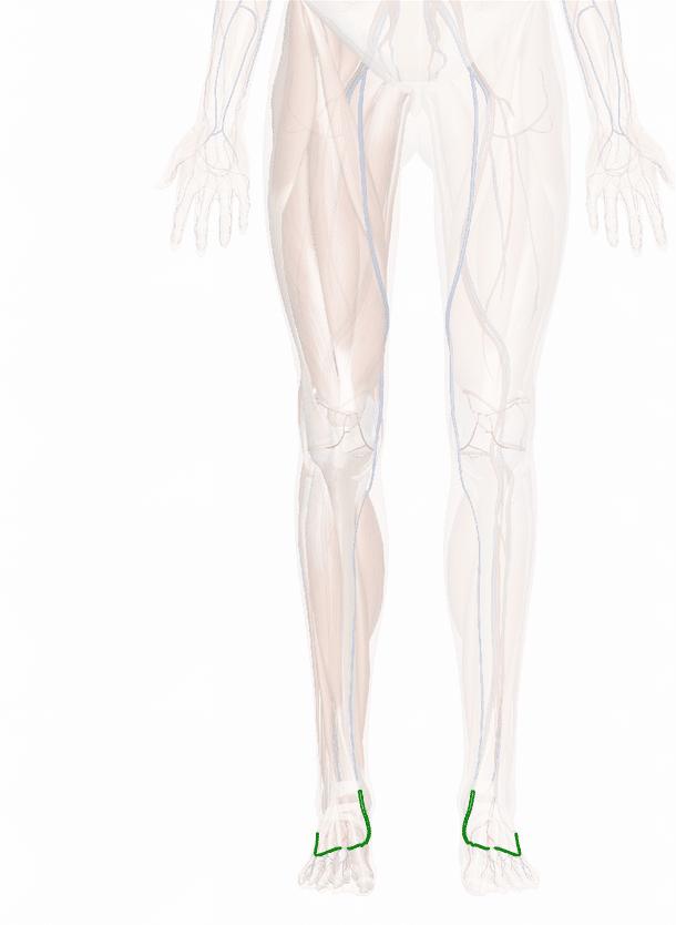 arcata venosa dorsale del piede