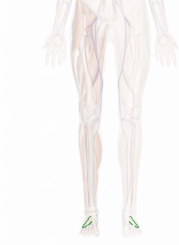 arteria arcuata