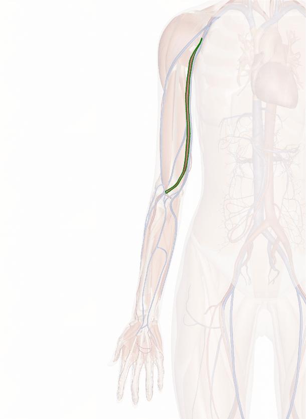 arteria brachiale