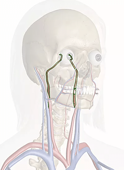 arteria carotide interna