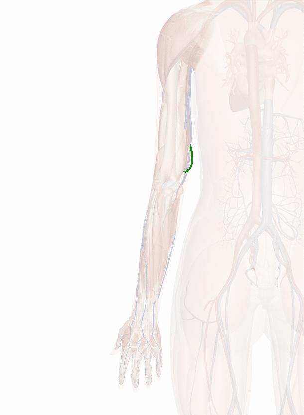 arteria collaterale ulnare inferiore