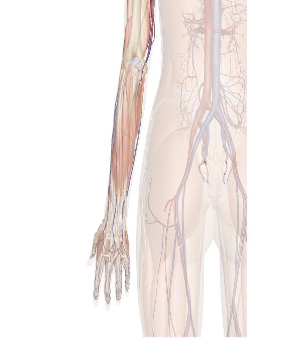 arteria collaterale ulnare superiore