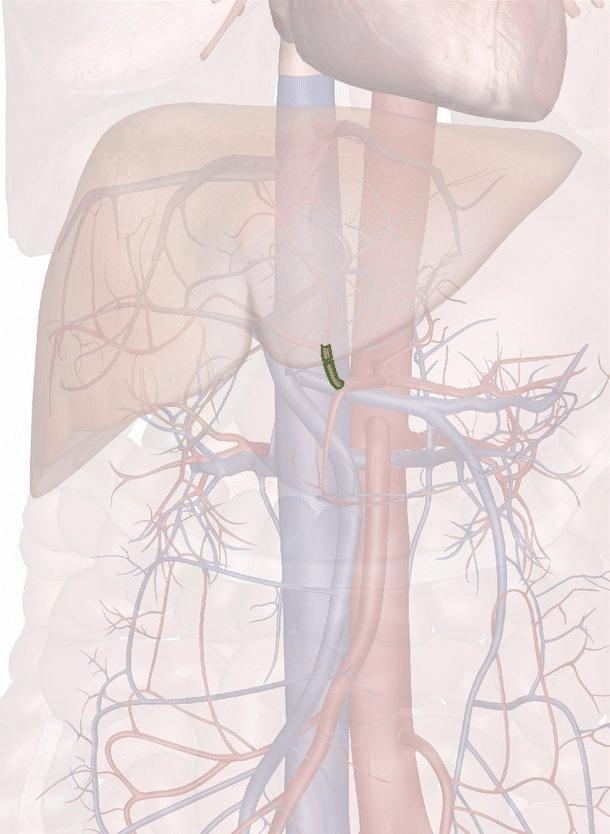 arteria epatica propria