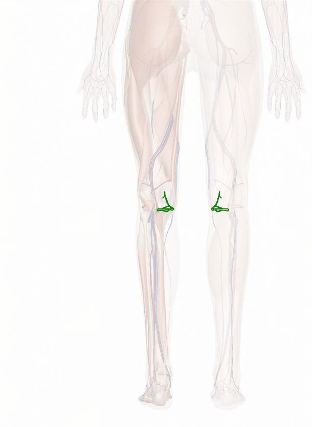 arteria genicolare inferiore mediale