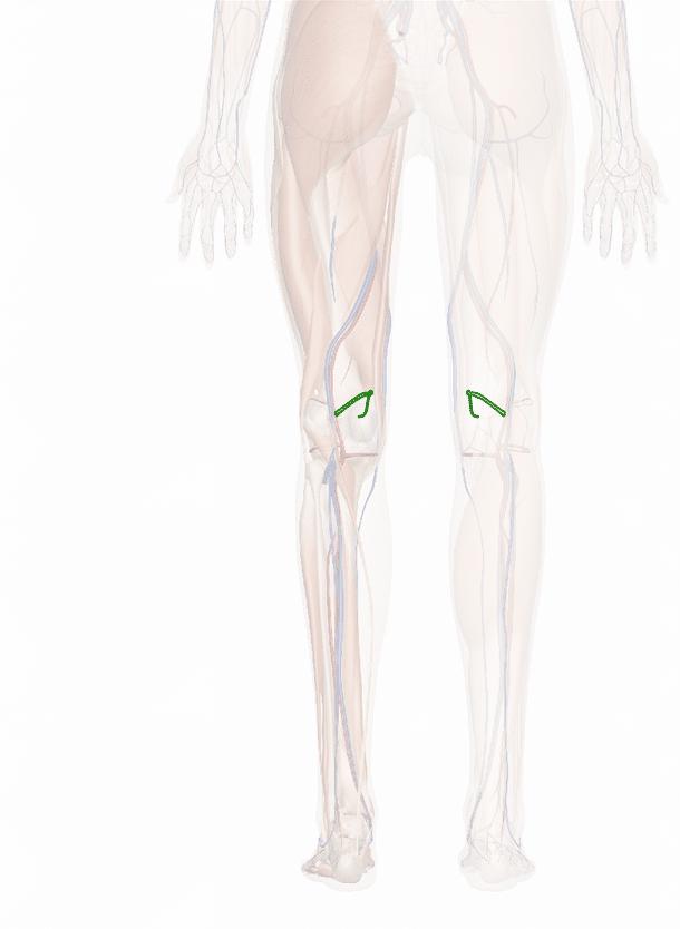 arteria genicolare superiore mediale