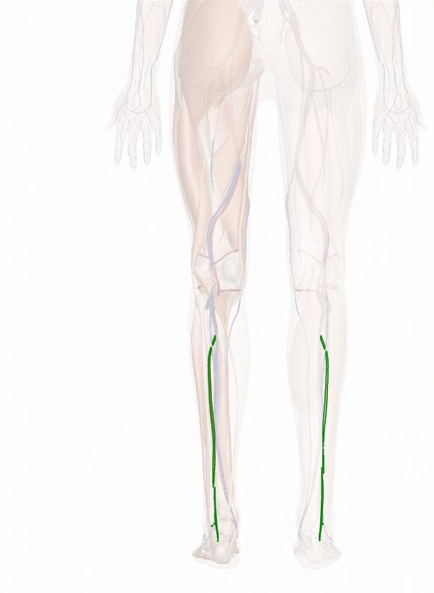 arteria peroneale