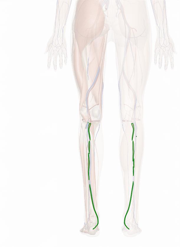 arteria tibiale posteriore