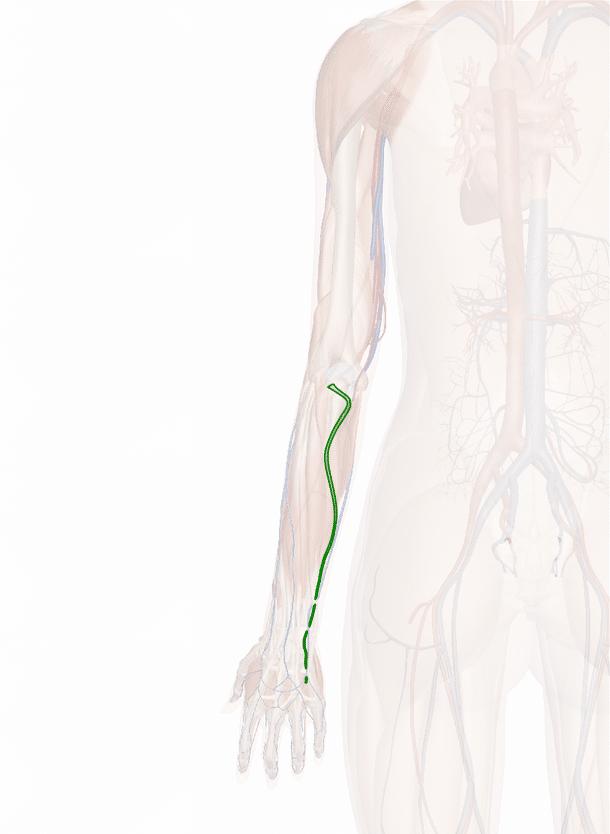 arteria ulnare