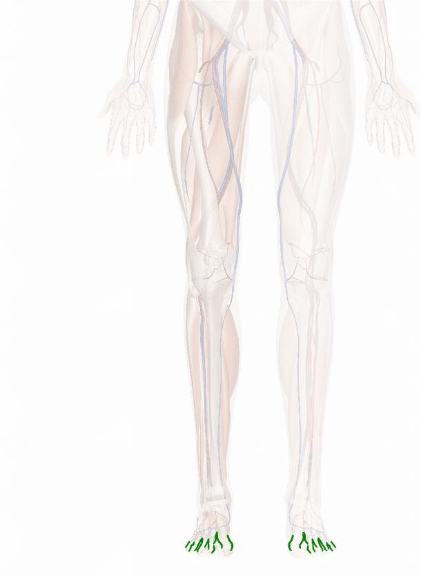 arterie digitali dorsali del piede
