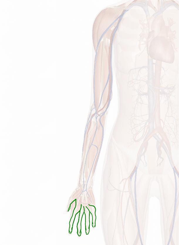 arterie digitali palmari
