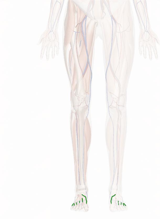 arterie metatarsali dorsali