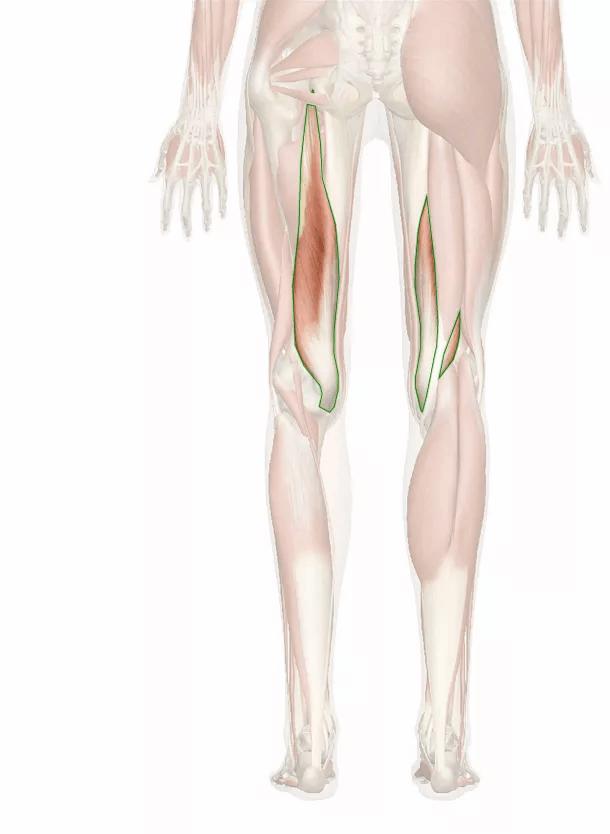 muscolo semimembranoso