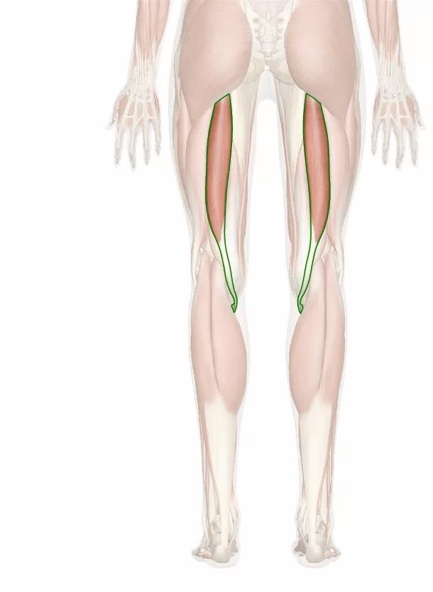 muscolo semitendinoso