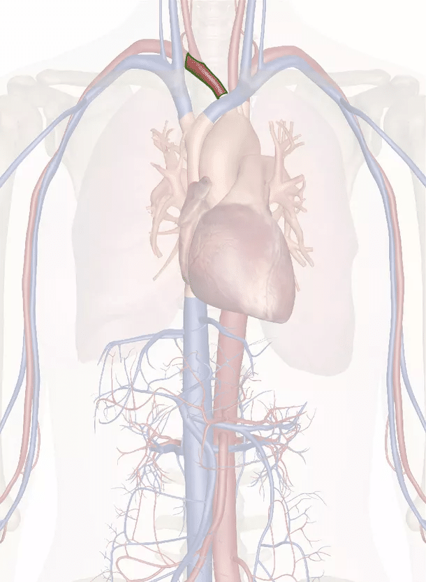tronco brachiocefalico