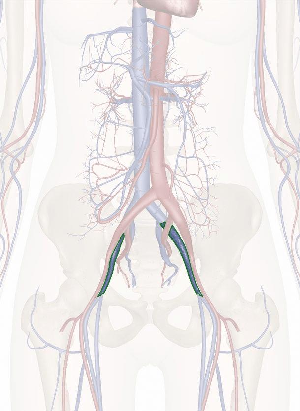 vena iliaca esterna