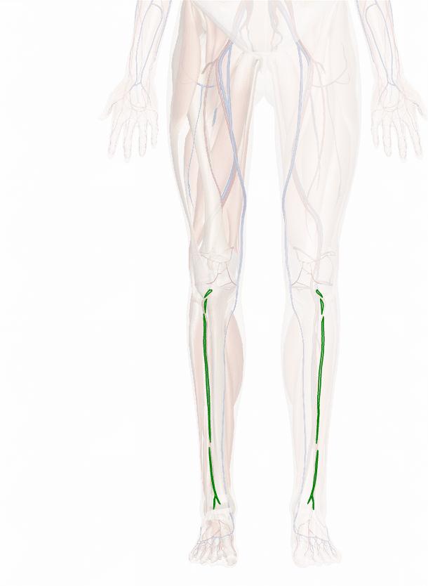 vena tibiale anteriore