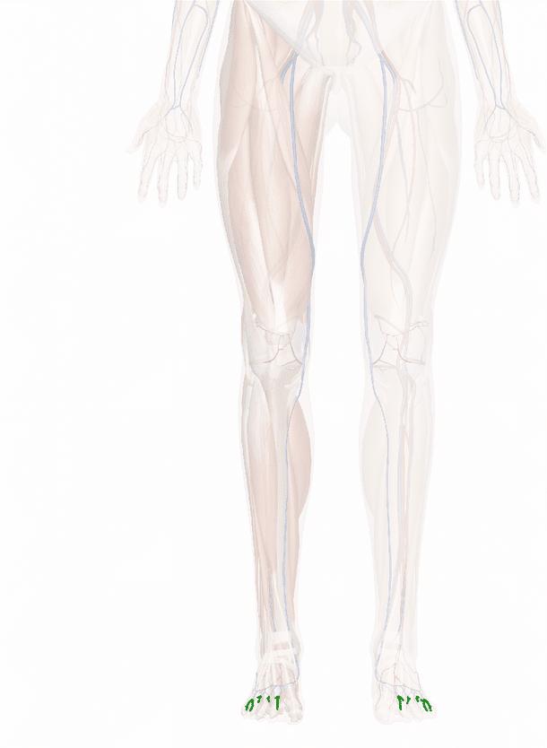 vene digitali dorsali del piede