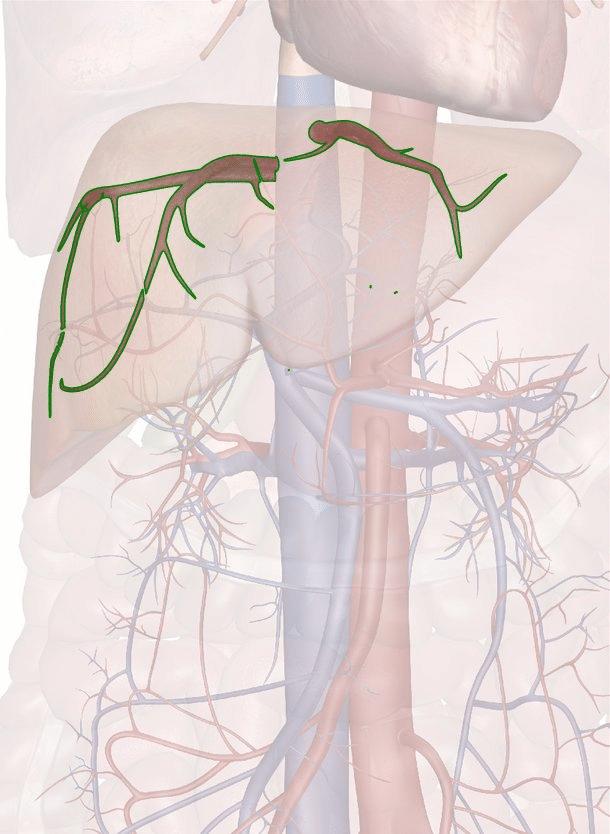 vene epatiche